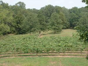 Vineyardrear